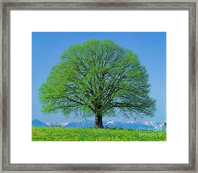 Linden Tree In Spring Framed Print by Hermann Eisenbeiss