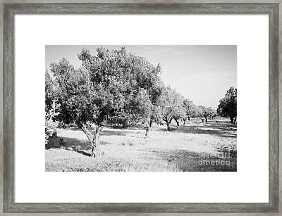 Line Of Olive Trees On Farmland In Hammamet Tunisia Framed Print by Joe Fox
