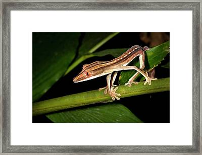 Lined Flat-tail Gecko Framed Print by Alex Hyde