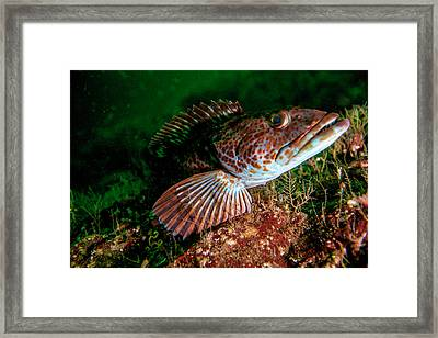 Lingcod (ophiodon Elongatus Framed Print by James White
