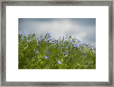 Linseed Framed Print