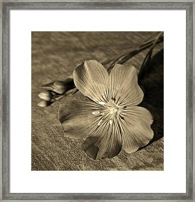 Linum Bloom Framed Print by Chris Berry
