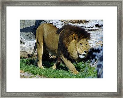 Lion 1 Framed Print