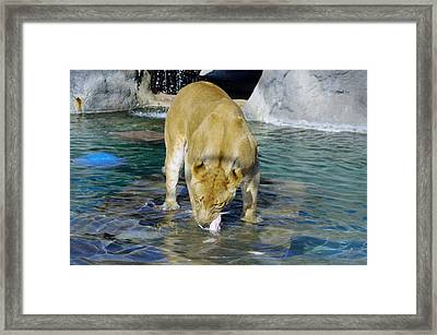 Lion 3 Framed Print