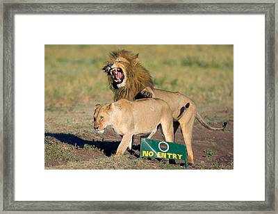 Lion And A Lioness Mating, Ngorongoro Framed Print by Panoramic Images