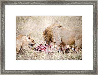 Lion And A Lioness Panthera Leo Eating Framed Print