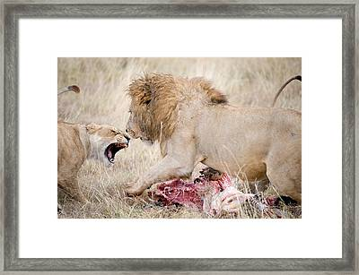 Lion And A Lioness Panthera Leo Framed Print by Panoramic Images
