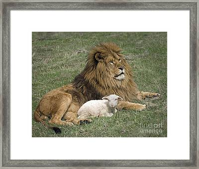 Lion And Lamb Framed Print by Wildlife Fine Art