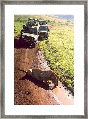 Lion Framed Print by Andrea Simon
