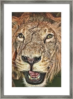 Framed Print featuring the photograph Lion by Angel Jesus De la Fuente