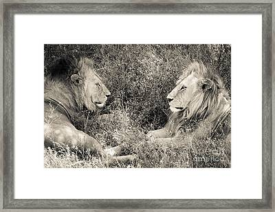 Lion Brothers Framed Print by Chris Scroggins