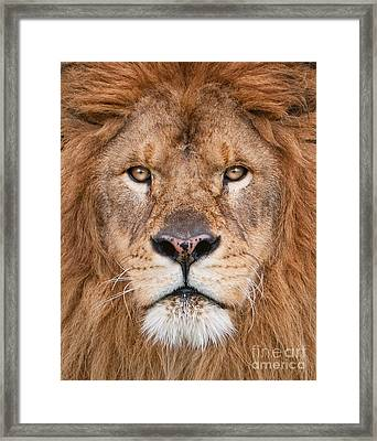 Lion Close Up Framed Print by Jerry Fornarotto