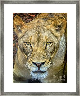 Lion Closeup Framed Print by David Millenheft