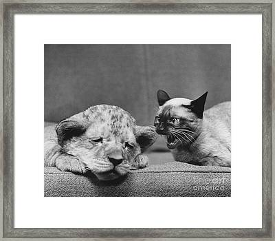 Lion Cub And Siamese Cat Framed Print