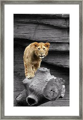 Lion Cub Framed Print by Cathy Harper