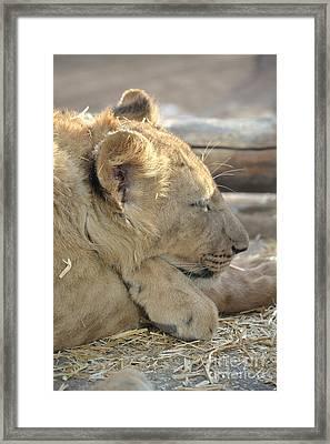 Lion Cub Dozing In The Sun Framed Print