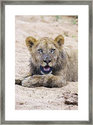 Lion Cub In Dry River Bed Framed Print by Sean McSweeney