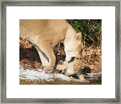 Lion Cub With Mom Framed Print