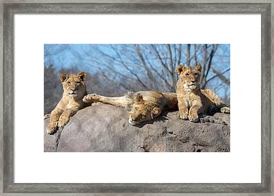 Lion Cubs Framed Print by Mark Papke