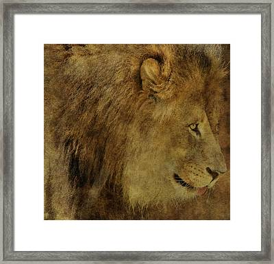Lion Framed Print by Dan Sproul