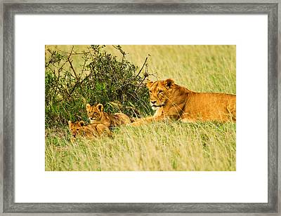 Lion Family Framed Print by Kongsak Sumano