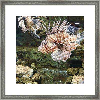 Lion Fish Framed Print