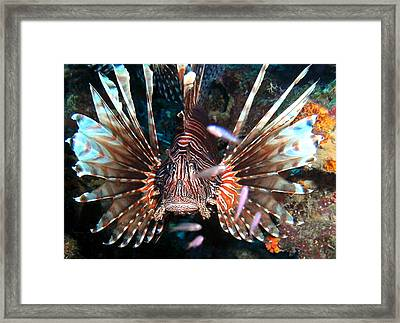 Lion Fish - En Garde Framed Print by Amy McDaniel