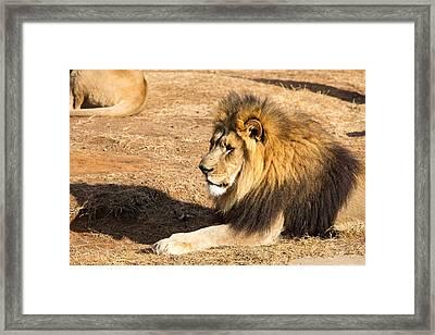 Lion Gaze Framed Print