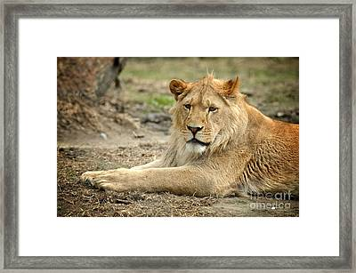 Lion Framed Print by HD Connelly