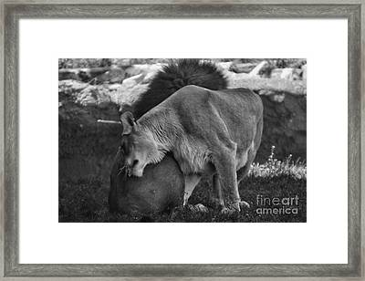 Lion Hugs In Black And White Framed Print by Thomas Woolworth