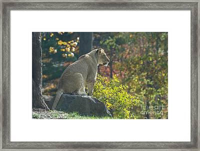 Lion In Autumn Framed Print