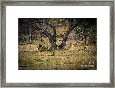 Lion In The Dog House Framed Print by Darcy Michaelchuk