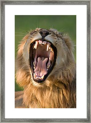 Lion Framed Print by Johan Swanepoel