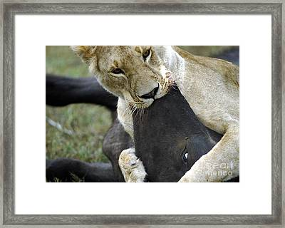 Lion Killing African Buffalo Framed Print by Mark Newman