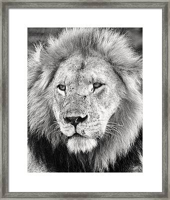 Lion King Framed Print by Adam Romanowicz