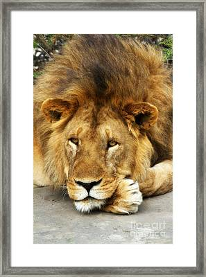 Lion King Emeritus Framed Print