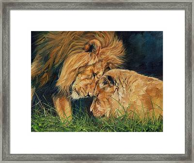 Lion  Love Framed Print by David Stribbling
