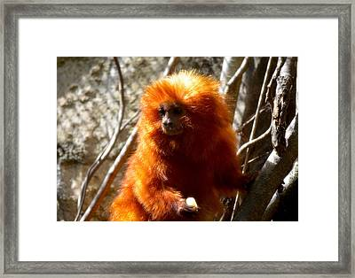 Framed Print featuring the photograph Lion Monkey 1 by Amanda Vouglas