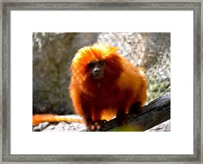 Framed Print featuring the photograph Lion Monkey 2 by Amanda Vouglas