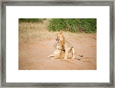 Lion Pair Panthera Leo Mating Framed Print by Panoramic Images
