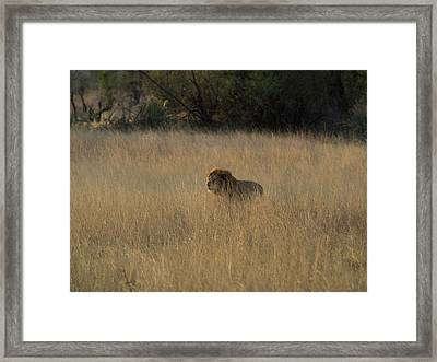 Lion Panthera Leo In Tall Grass That Framed Print