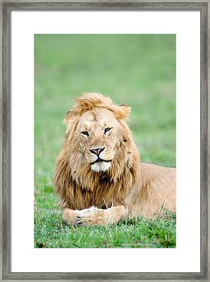 Lion Panthera Leo Lying In Grass, Masai Framed Print by Panoramic Images