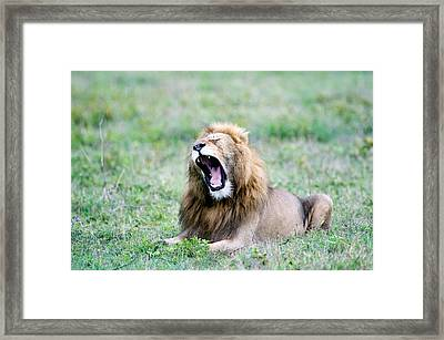 Lion Panthera Leo Yawning In A Field Framed Print by Panoramic Images