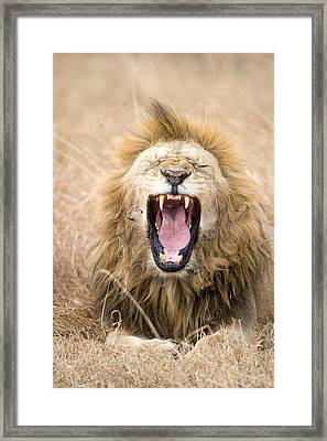 Lion Panthera Leo Yawning In A Forest Framed Print by Panoramic Images