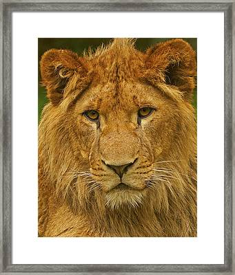 Lion Framed Print by Paul Scoullar