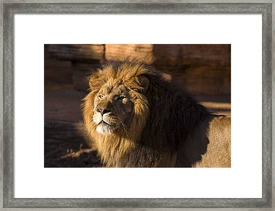 Lion Resting In The Sun Framed Print by Chris Flees
