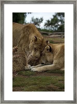 Lion Smooch Framed Print by Graham Palmer