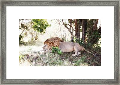 Lion Snoozing In The Afternoon Framed Print by June Jacobsen