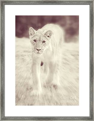 Lion Spirit Animal Framed Print by Chris Scroggins