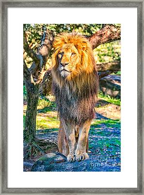 Lion Standing On Rocks Framed Print